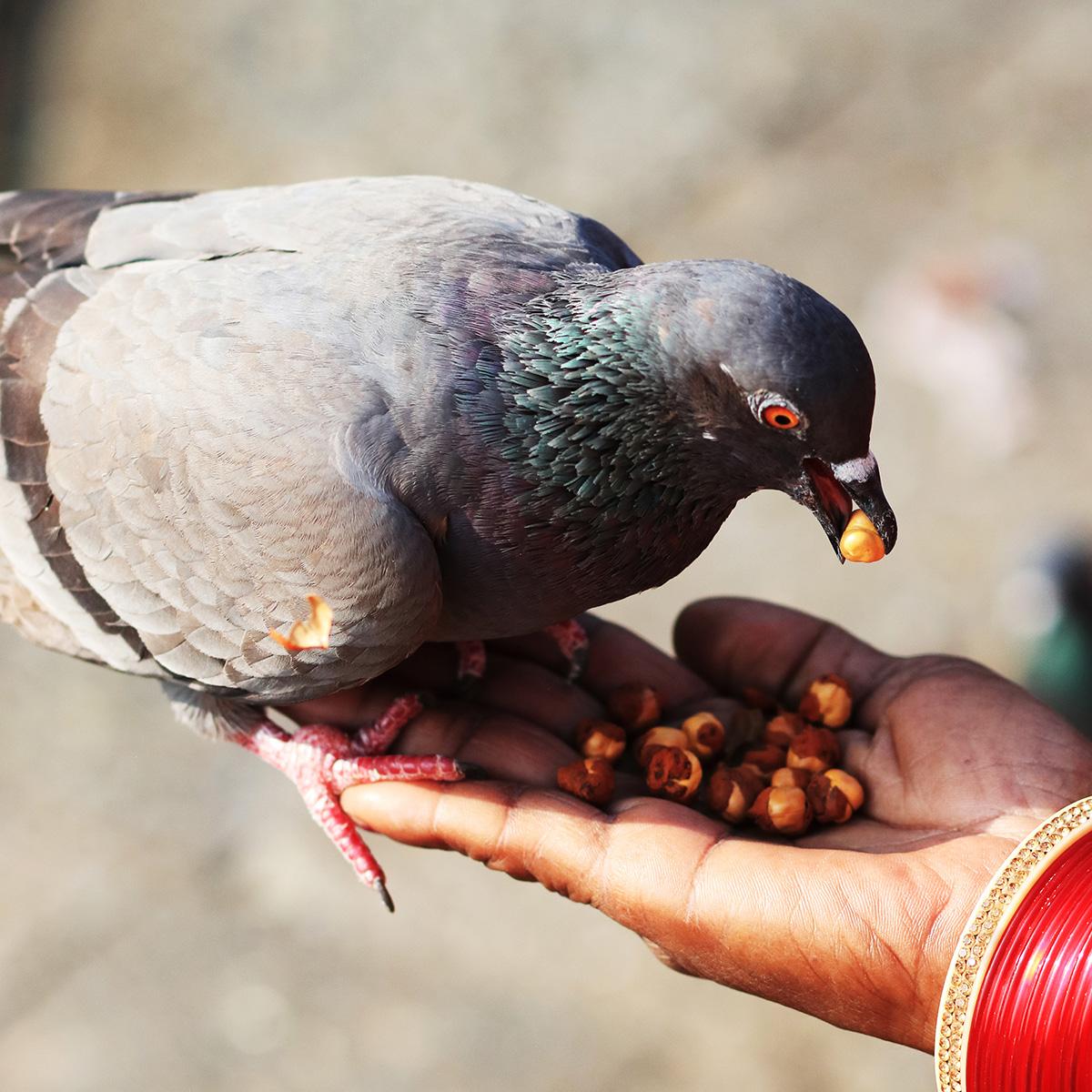 doneer duivenvoer aan de duifjes van het dierenthuisje
