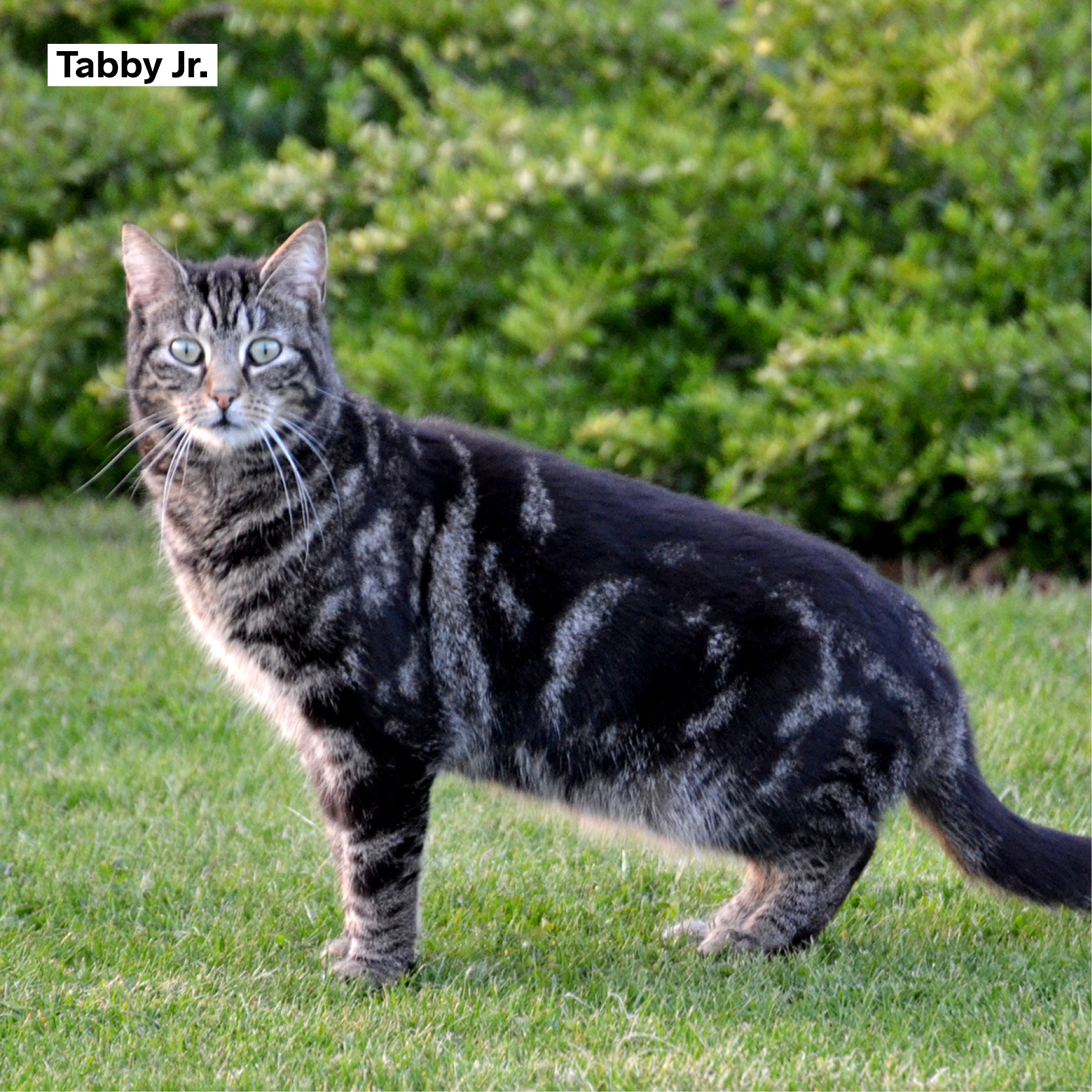 meter_peter_58 Tabby jr